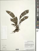view Tectaria plantaginea var. macrocarpa (Fée) C.V. Morton digital asset number 1