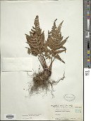view Dryopteris sordidipes Tagawa digital asset number 1