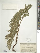 view Polystichum proliferum (R. Br.) C. Presl digital asset number 1