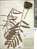 view Lecanopteris crustacea Copel. digital asset number 1