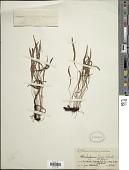 view Elaphoglossum tenax Rosenst. digital asset number 1