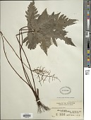 view Tectaria aurita (Sw.) Chandra digital asset number 1