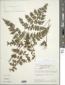 view Triplophyllum glabrum J. Prado & R.C. Moran digital asset number 1