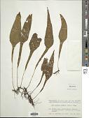 view Leptochilus wrightii (Hook.) X.C. Zhang digital asset number 1