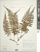 view Arthropteris monocarpa (Cordem.) C. Chr. digital asset number 1