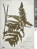 view Tectaria latifolia (G. Forst.) Copel. digital asset number 1
