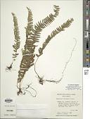 view Nephrolepis undulata J. Sm. digital asset number 1