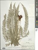 view Polystichum hancockii (Hance) Diels digital asset number 1