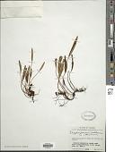 view Elaphoglossum hartwegii (Fée) T. Moore digital asset number 1