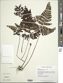 view Triplophyllum funestum (Kunze) Holttum digital asset number 1
