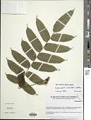 view Lomariopsis congoensis Holttum digital asset number 1