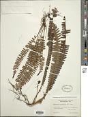view Nephrolepis cordifolia (L.) C. Presl digital asset number 1