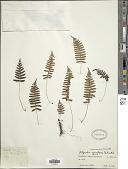 view Goniophlebium microrhizoma (C.B. Clarke) Bedd. digital asset number 1