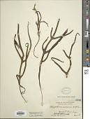 view Microsorum pentaphyllum (Baker) Copel. digital asset number 1
