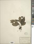 view Tectaria plantaginea (Jacq.) Maxon digital asset number 1