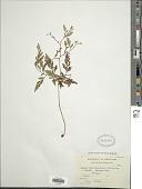 view Wibelia chaerophylloides (Poir.) M. Kato & Tsutsumi digital asset number 1