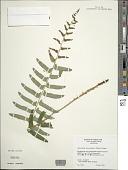 view Polystichum acrostichoides (Michx.) Schott digital asset number 1