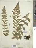view Dryopteris cristata var. spinulosa digital asset number 1