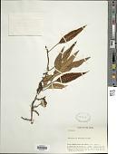 view Selliguea albicaula (Copel.) M. Kato & M.G. Price digital asset number 1