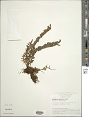 view Pleopeltis bombycina (Maxon) A.R. Sm. digital asset number 1