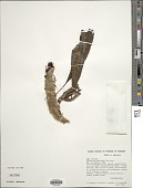 view Microgramma megalophylla (Desv.) de la Sota digital asset number 1