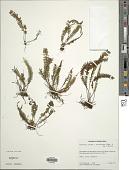 view Melpomene pilosissima (M. Martens & Galeotti) A.R. Sm. & R.C. Moran digital asset number 1