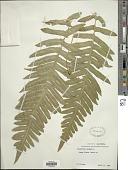 view Polypodium californicum Kaulf. digital asset number 1