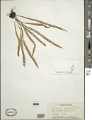 view Lepisorus thunbergianus (Kaulf.) Ching digital asset number 1