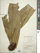 view Campyloneurum phyllitidis (L.) C. Presl digital asset number 1