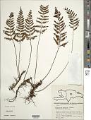 view Pleopeltis murora (Hook.) digital asset number 1