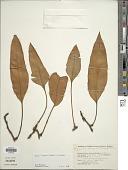 view Pyrrosia lingua (Thurb.) Farw. digital asset number 1