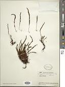view Melpomene moniliformis (Lag. ex Sw.) A.R. Sm. & R.C. Moran digital asset number 1