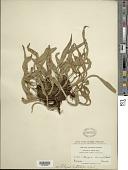 view Pleopeltis astrolepis (Liebm.) E. Fourn. digital asset number 1