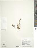 view Lellingeria randallii (Maxon) A.R. Sm. & R.C. Moran digital asset number 1