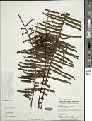 view Pecluma eurybasis var. villosa (A.M. Evans) Lellinger digital asset number 1