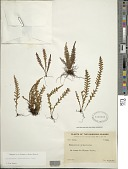 view Adenophorus pinnatifidus Gaudich. digital asset number 1