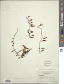 view Microgramma piloselloides (L.) Copel. digital asset number 1