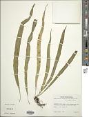 view Campyloneurum angustifolium (Sw.) Fée digital asset number 1
