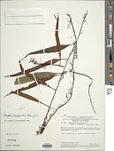 view Microgramma percussa (Cav.) de la Sota digital asset number 1
