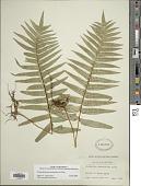 view Polypodium fuscopetiolatum A.R. Sm. digital asset number 1