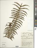 view Serpocaulon loriceum (L.) A.R. Sm. digital asset number 1