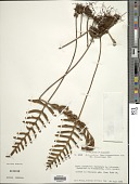 view Pleopeltis thyssanolepis (A. Braun ex Klotzsch) E.G. Andrews & Windham digital asset number 1