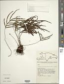 view Zygophlebia sectifrons (Kunze ex Mett.) L.E. Bishop digital asset number 1