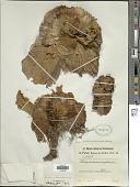 view Platycerium angolense Welw. ex Baker digital asset number 1