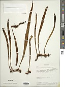 view Pyrrosia madagascariensis (C. Chr.) Schelpe digital asset number 1
