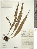 view Pleopeltis marginata A.R. Sm. & Tejero digital asset number 1