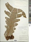 view Aglaomorpha drynarioides digital asset number 1