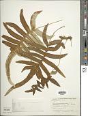 view Polypodium eatonii Baker digital asset number 1