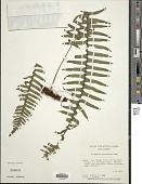 view Polypodium hartwegianum Hook. digital asset number 1