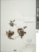 view Pleopeltis masafuerae (Phil.) de la Sota digital asset number 1